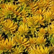 Sedum rupestre 'Aureum' (20/11/2014)  added by Shoot)