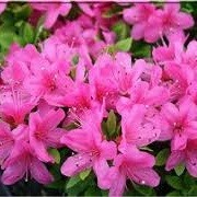 Rhododendron 'Momoko' (05/12/2014)  added by Shoot)