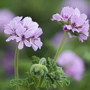 Pelargonium 'Attar of Roses'