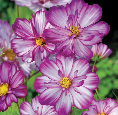 Cosmos 'Sweet Kisses'