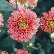 Chrysanthemum 'Doctor Tom Parr'