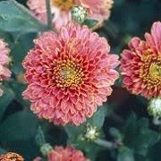 Chrysanthemum 'Doctor Tom Parr' (22/01/2015)  added by Shoot)