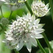 Astrantia major 'Starburst'