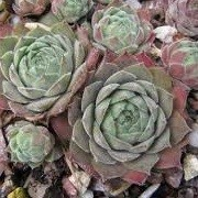 Sempervivum 'Engle's' (22/01/2015)  added by Shoot)