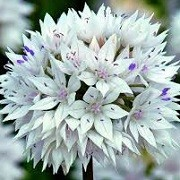 Allium amplectens 'Graceful Beauty' (22/01/2015)  added by Shoot)