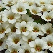 Saxifraga 'Alan Martin' (x boydilacina) (22/01/2015)  added by Shoot)