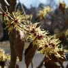 Hamamelis x intermedia 'Swallow Hayes'