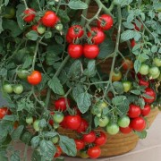 Tomato Tumbler (22/12/2016) Lycopersicon esculentum 'Tumbler' added by Shoot)