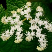 Rodgersia pinnata 'Alba' (09/07/2019) Rodgersia pinnata 'Alba' added by Shoot)
