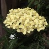 Achillea 'Sunny Seduction' (Seduction Series)