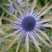 Eryngium 'Neptune's Gold'  (04/05/2016) Eryngium 'Neptune's Gold' added by Shoot)