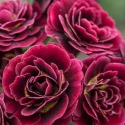 Primula auricula 'Crimson Glow' (18/03/2016)  added by Shoot)