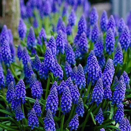 Muscari armeniacum 'Dark Eyes'