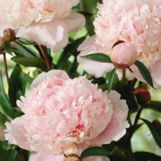 (03/09/2019) Paeonia lactiflora 'Solange' added by Shoot)
