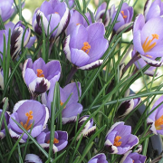 Crocus 'Spring Beauty' Added by Nicola