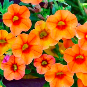 Calibrachoa 'Superbells Tequila Sunrise' (Superbells Series) (Mini petunia 'Superbells Tequila Sunrise') (30/07/2018) Calibrachoa 'Superbells Tequila Sunrise' (Superbells Series) added by Shoot)