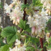 (26/06/2018) Ribes sanguineum 'Elkington's White'  added by Shoot)