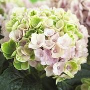 (27/09/2017) Hydrangea macrophylla 'Magical Revolution' added by Shoot)