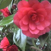 Camellia japonica 'C.M. Hovey' (05/04/2016)  added by Shoot)