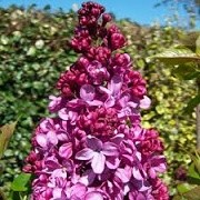 Syringa vulgaris 'Prince Wolkonsky' (11/03/2015)  added by Shoot)
