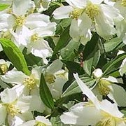 Philadelphus 'Lemoinei' (30/06/2016) Philadelphus 'Lemoinei' added by Shoot)