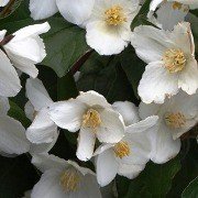 (08/06/2017) Philadelphus 'Starbright' added by Shoot)