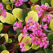 Bergenia cordifolia 'Lunar Glow' (12/03/2015)  added by Shoot)