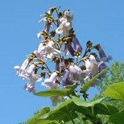 Paulownia fortunei 'Fast Blue' (03/03/2015)  added by Shoot)