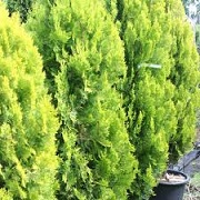 Thuja occidentalis 'Pyramidalis Aurea'