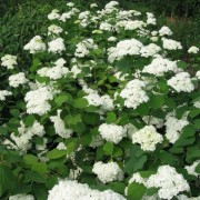 (01/12/2020) Hydrangea arborescens 'Grandiflora' added by Shoot)
