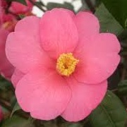 Camellia 'Crimson Candles'