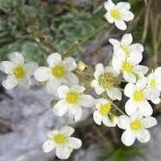 Saxifraga paniculata (10/01/2015)  added by Shoot)