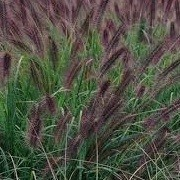 Pennisetum alopecuroides 'Moudry' (06/12/2014)  added by Shoot)