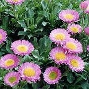 Erigeron glaucus 'Sea Breeze' (06/12/2014)  added by Shoot)