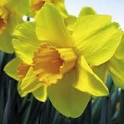 Narcissus 'Warleggan' (06/12/2014)  added by Shoot)
