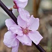 Prunus x persicoides 'Spring Glow' (10/01/2015)  added by Shoot)