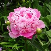 Paeonia 'Monsieur Jules Elie' (09/01/2015)  added by Shoot)