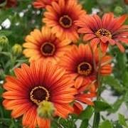 Osteospermum 'Astra Fire' (Astra Series) (07/06/2015)  added by Shoot)