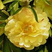 Paeonia 'Amy Jo' (27/01/2015)  added by Shoot)