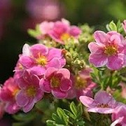 Potentilla fruticosa 'Pink Paradise' (27/01/2015)  added by Shoot)