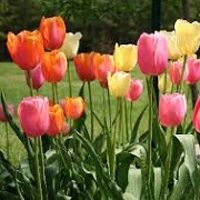 Tulipa (any spring-blooming hybrid variety)