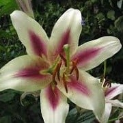 Lilium 'Altari' (05/03/2015)  added by Shoot)