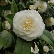 Camellia japonica 'White Perfection'