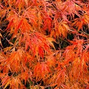 Acer palmatum (Dissectum Group) 'Baldsmith' (04/03/2015)  added by Shoot)