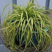 Carex oshimensis 'Eversheen' (04/03/2015)  added by Shoot)