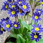 Primula 'Blue Lace Mary' (01/03/2015)  added by Shoot)