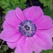 Anemone coronaria 'Harmony Orchid' (01/03/2015)  added by Shoot)