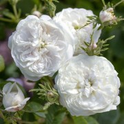 (07/03/2019) Rosa 'Madame Hardy' added by Shoot)