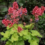 Heuchera 'Sweet Tart' (Little Cutie Series)