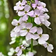Hesperis matronalis 'Cally Dwarf'